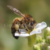 Honey Bee on White Rockcress or Arabis 2