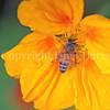 Honey Bee on Nasturtium