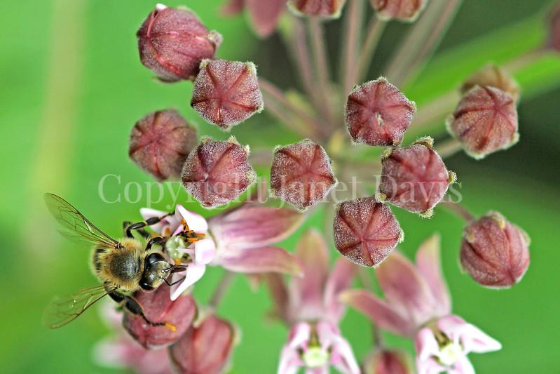 Honey Bee on Common Milkweed 5