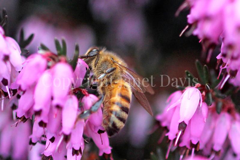 Honey Bee on Winter Heath 1