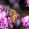 Honey Bee on Winter Heath 1