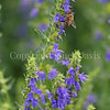Honey Bee on Hyssop 2