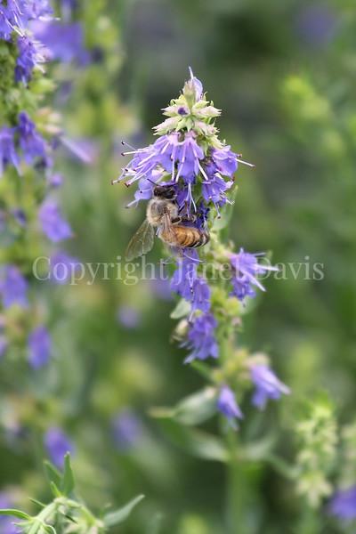 Honey Bee on Hyssop 1