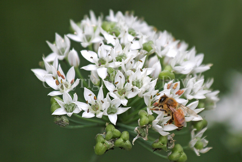 Honey Bee on Garlic Chives 2