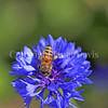 Honey Bee on Blue Cornflower 3