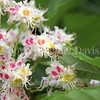 Honey Bee on Horse Chestnut 2
