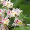 Honey Bee on Horse Chestnut 2