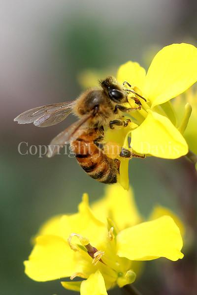 Honey Bee on Brassica Flower 2