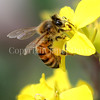 Honey Bee on Brassica Flower 2