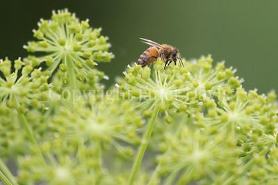Honey Bee on Garden Angelica 2