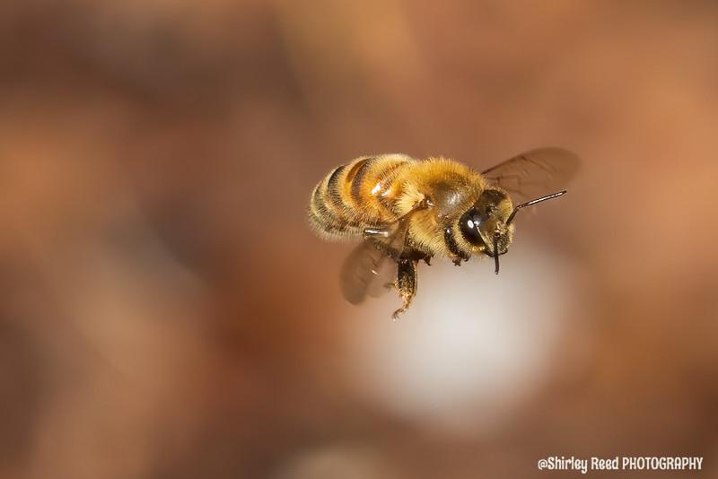 Macro Honey Bee