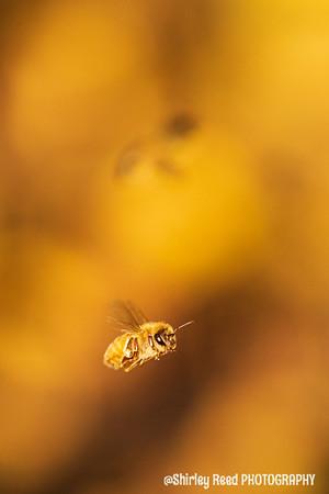 Honey bee Silhouette
