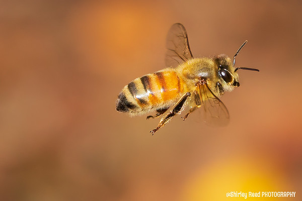 Laughing Bee