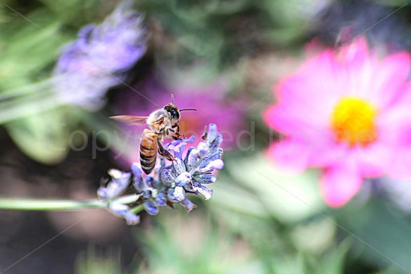 Bee Impressions
