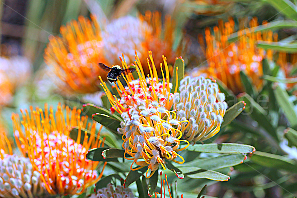 Bumble Protea
