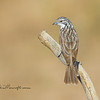 Striped Honeyeater, Plectorhyncha lanceolate,