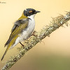 White - Naped Honeyeater, Melithreptus lunatics