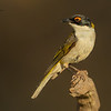 White-Naped Honeyeater, Melithreptus lunatus.