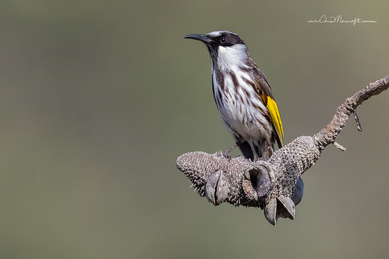 White-cheeked Honeyeater, Phylidonyris niger