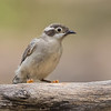 Brown-Headed Honeyeater, Melithreptus brevirostris.
