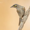 Yellow - Faced Honeyeater, Caligavis chrysops,