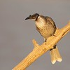 Little Friarbird, Philemon citreogularis