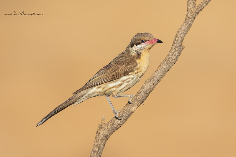 Spiney-cheeked Honeyeater, Acanthagenys rufogularis