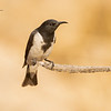 Black Honeyeater, Sugamel nigrum