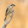 Brown Headed Honeyeater,