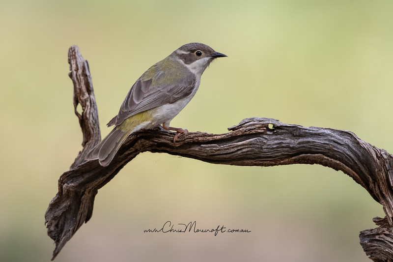 Brown-headed Honeyeater, Melithreptus brevirostris