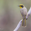 Yellow-Tufted Honeyeater, Lichenostomus melanops.