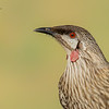 Red Wattlebird, Anthrochaera carunculata