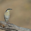 Singing Honeyeater, Gavicalis virescens
