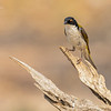 White-naped Honeyeater. Melithreptus lunatus,