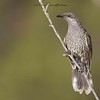 Little Wattlebird, Anthochaera chrysoptera