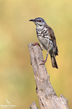 Bar-breasted Honeyeater