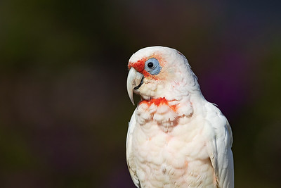 Long-billed Corella portrait