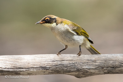 White - Naped Honeyeater, Melithreptus lunatus.