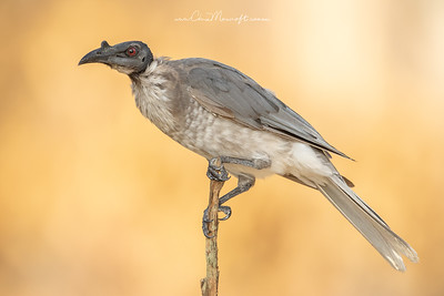 Noisy Friarbird, Philemon citreogularis