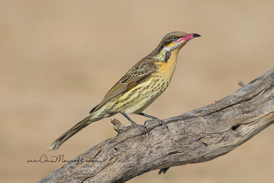 Spiny - Cheeked Honeyeater, Acanthagenys rufogularis
