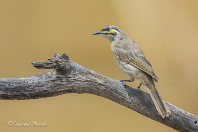 Yellow-faced Honeyeater, Caligavis chrysops