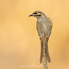 Yellow-faced Honeyeater, Caligavis chrysops,