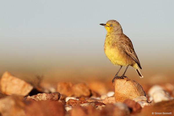 Gibberbird