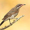 Spiney-cheeked Honeyeater, Acanthagenys rufogularis.