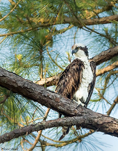Osprey Intensity