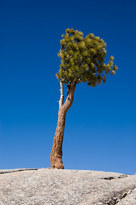 Joshua Tree (1)  It's not really a Joshua Tree (ala U2), but looks like it.  This little fella is growing out of the rock at Olmsted Point