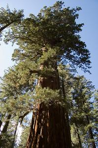 Giant Sequoia (2)
