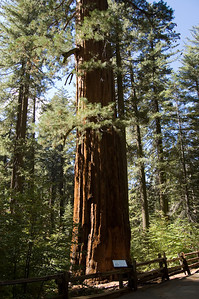 Giant Sequoia (1)  These are some very very big trees.  Not only in height but girth too.