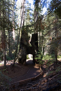 Tunnel Tree (1)  I told you these trees were big.  This one's got a tunnel right through it.