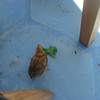 One of the chickens running around on the ground at The Blue Bar, Harbour Island.
